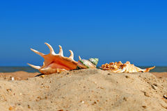 Different conch shells on a beach. Stock Image