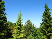 Conifers plants in park, Lithuania. Different conifers trees in park, Lithuania Stock Photos