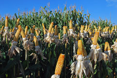 Different corn plantation Royalty Free Stock Photos