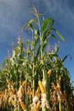 Different corn plantation stock images