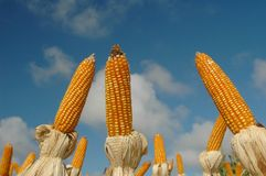 Different corns stock photo
