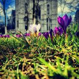 Different crocus (Iridaceae) in bloom standing in a perk in front of an ancient church Stock Photos