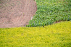 3 different crops filed,corn, rice Stock Photos