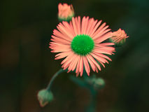 Different daisy flower. Pink daisy flower over dark green background royalty free stock photos