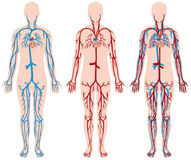 Different diagram of blood vessels in human. Illustration Royalty Free Stock Photos
