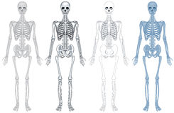 Different diagram of human skeleton Royalty Free Stock Images