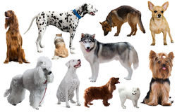 Different dog breeds. Many different kinds of dog breeds isolated on white royalty free stock images