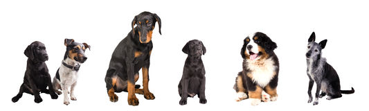 Different Dogs isolated Royalty Free Stock Images