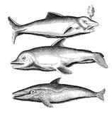 Different dolphin species, vintage engraving Royalty Free Stock Photography