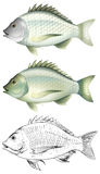 Different drawing of the same fish Stock Images