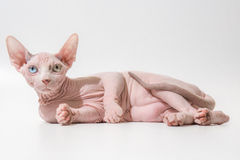 Different eyes look at the world. Sphinx Cats hairless odd eyes stock images