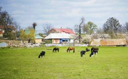 Different farm animals graze on meadow. Different farm animals graze on green meadow near village. Summer village landscape with domestic animals against blue Royalty Free Stock Images