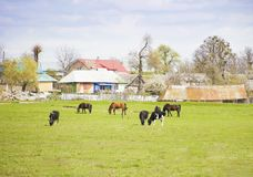 Different farm animals graze on meadow. Different farm animals graze on green meadow near village. Summer village landscape with domestic animals Stock Images