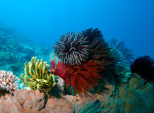 Different Feather Stars. Sumbawa, Indonesia Stock Image