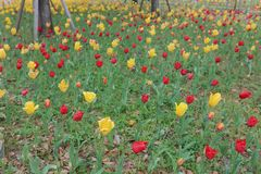 blooming tulips in panorama format Stock Image