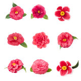 Different flowers of camellia on a white background Royalty Free Stock Image