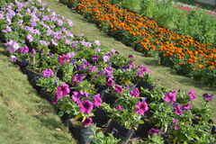 Different flowers at flower show, ahmedabad Royalty Free Stock Images