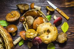 Different forest mushrooms just collected. Different types of only collected wild mushrooms on the table stock photos