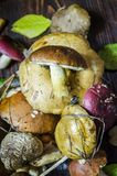 Different forest mushrooms just collected. Different types of only collected wild mushrooms on the table royalty free stock image