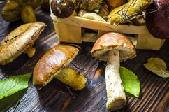 Different forest mushrooms just collected. Different types of only collected wild mushrooms on the table royalty free stock photos