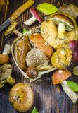 Different forest mushrooms just collected. Different types of only collected wild mushrooms on the table royalty free stock photography