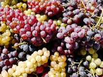 Different grape varieties photographed during autumn sun. stock images