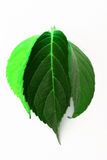 Different green leaves. Closeup of three leaves in different shades of green, white background royalty free illustration