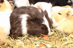 Different guinea pigs Stock Images