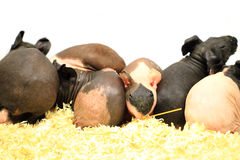 Different guinea pigs Royalty Free Stock Photo