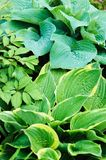 Different hostas planted with astilbe in garden mixed border. Shade tolerant plants in summer stock photography