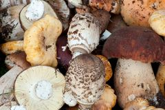 Different kind of edible forest mushrooms Royalty Free Stock Photography