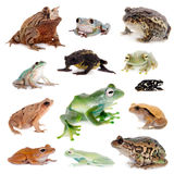 Different kind of frogs on white Royalty Free Stock Images
