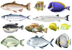 Different Kind Of Ocean Fish Royalty Free Stock Images