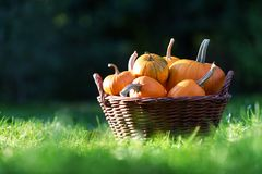 Different kind of pumpkins in garden basket stock photo
