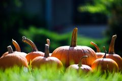 Different kind of pumpkins in garden grass royalty free stock image
