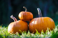 Different kind of pumpkins in garden grass stock photo