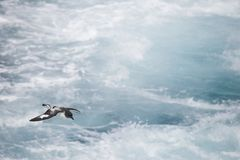 Antarctica birds flying against the ocean to catch some fish. Different kinds of Antarctica birds flying against the ocean to catch some fish royalty free stock images