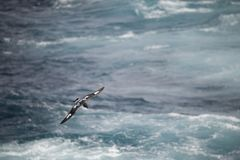 Antarctica birds flying against the ocean to catch some fish. Different kinds of Antarctica birds flying against the ocean to catch some fish royalty free stock image