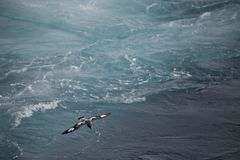 Antarctica birds flying against the ocean to catch some fish. Different kinds of Antarctica birds flying against the ocean to catch some fish royalty free stock photography