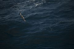 Antarctica birds flying against the ocean to catch some fish. Different kinds of Antarctica birds flying against the ocean to catch some fish stock image