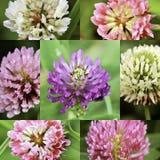 Seven varieties of clover. vector illustration