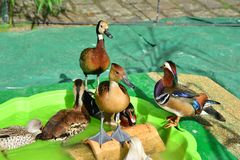 Different kinds of ducks in the barnyard. Diversity Royalty Free Stock Photography