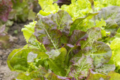 Different kinds of lettuce Royalty Free Stock Image