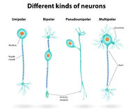 Different kinds of neurons. Vector scheme structure of a typical neuron. neuron and myelin royalty free illustration