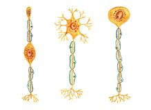 Different kinds of neurons: Bipolar neuron, Multipolar neuron, Unipolar neuron stock illustration