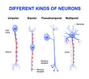 Different kinds of neurons. Structure of a typical neuron stock illustration