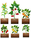 Different kinds of plant in garden. Illustration Stock Photography