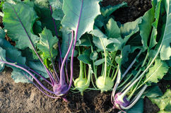 Different kohlrabi plants Royalty Free Stock Photos