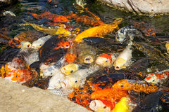 Different koi carps Stock Photos