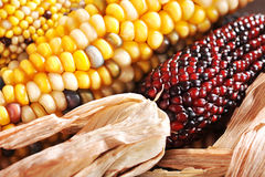 Different maize-cobs Royalty Free Stock Photography